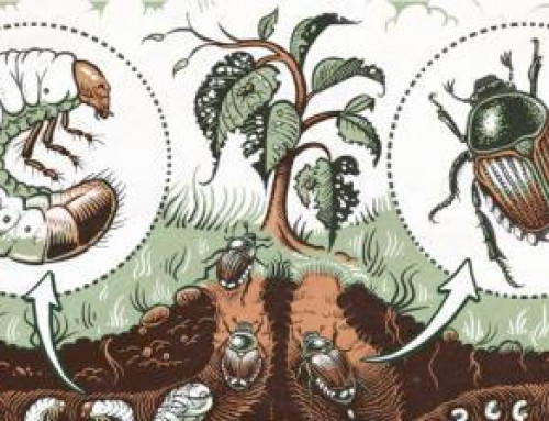 Japanese Beetle Eradication Project