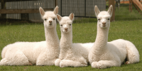 three young white alpacas resting in a pasture