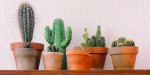 six pots with Cacti in them